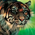 harapan_sumatran_tiger 2