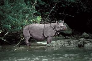 javan rhino species_brink_01_img.timeinc.net