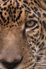 Enkosiniecoexperience_Jaguar-small