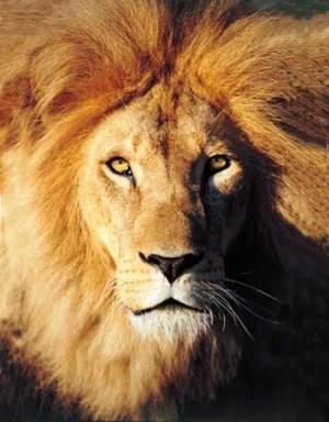 Enkosiniecoexperience_lionfrontretouchedwide-smal