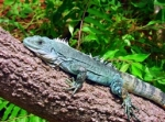 GoEco_Iguana Conservation_11