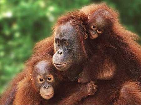 intro_menschenaffen_orangutan_g_www.planet-wissen.de