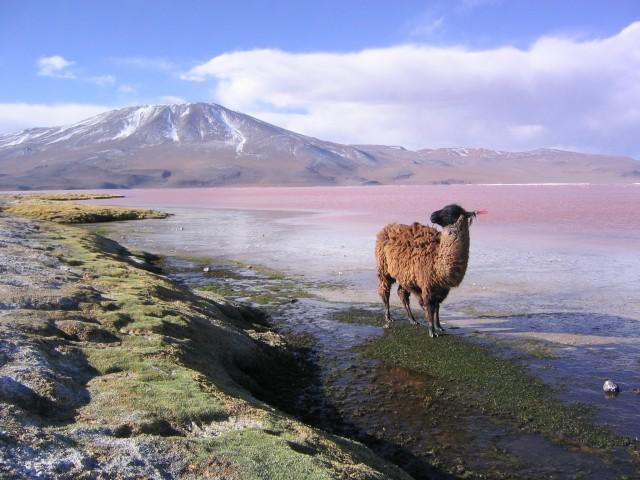 Laguna Colorada-BOLIVIA-www.wayfaring.com-llama_en_la_laguna_colorada_potosi_bolivia