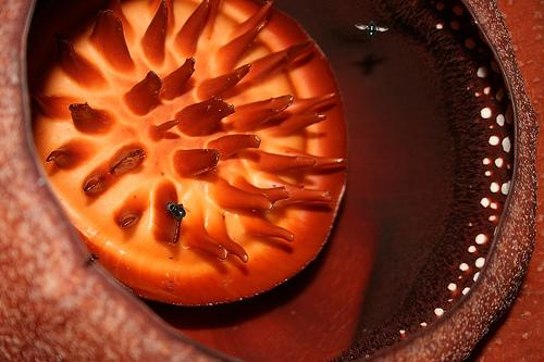 Rafflesia Arnoldi_INDONESIA_1222403646_125afb8baf