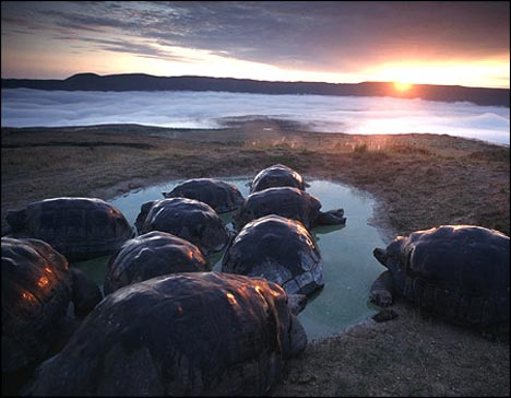 Endangered turtles in Galapagos. Image: courtesy of Tui De Roy