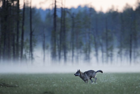 An endangered Eurasian Wolf, Canis lupus in Kuhmo, Finland. Photo courtesy of Wild Wonders of Europe