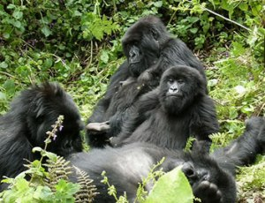 A family of Mountain Gorillas, Uganda.