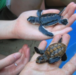 green-hawksbill-hatchlings1