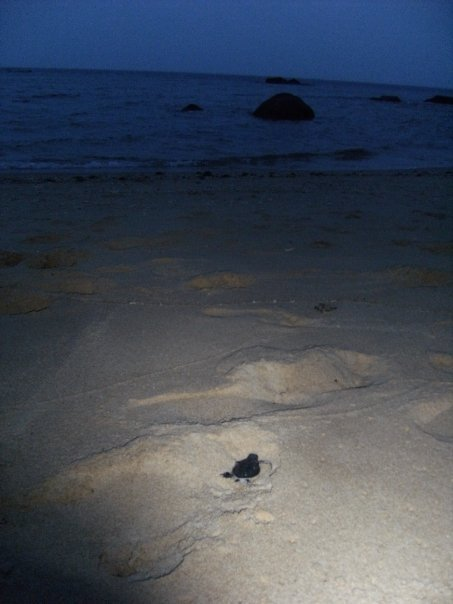 Hatchling heading for the sea. Photo: Eco Field Trips, Singapore
