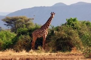 KenyaGiraffe