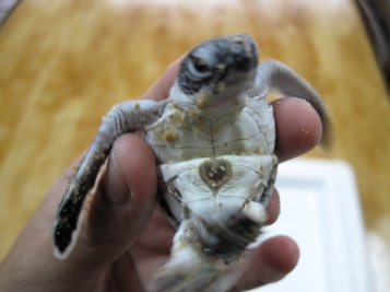 Turtle hatchling. Photo: Eco Field Trips