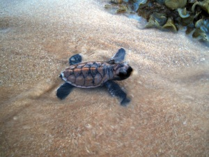 Hatchling out and about, enroute to sea. Photo: Eco Field Trips