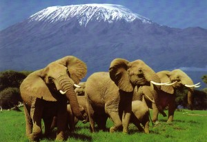 Elephants roaming the plains, with Kilimanjaro in the background.
