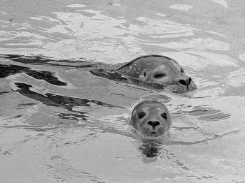 Seal mother and her baby seal