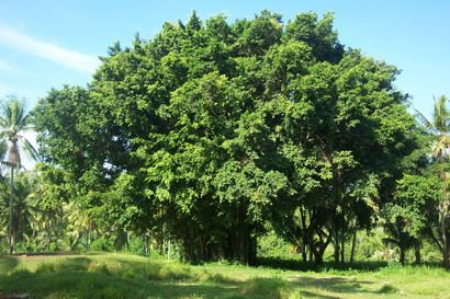 Banyan Tree-large banyan common in any Balinese Village