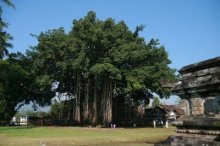Banyan Tree-Large Banyan Tree by Mendut Temple in Central Java