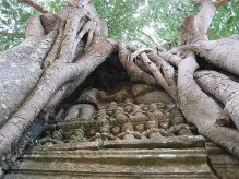 Banyan Tree-overtaking a wall at Angkor Wat-proof of banyan tree's longevity