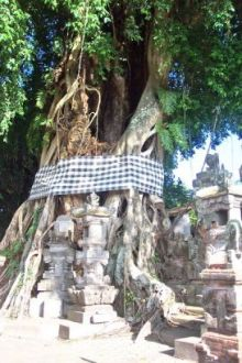 Banyan Tree-Wrapped in black and white cloth in Bali-and small shrines in foreground