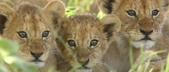 Lion Cubs in African savannah. Photo: Ker Downey