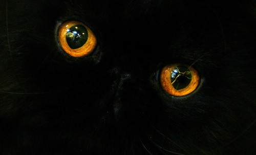 World Animal Day-Black Persian Cat