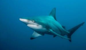 World Animal Day-Blacktip Shark