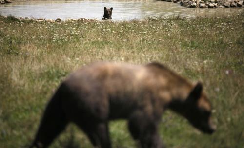 World Animal Day-Brown Bear 1