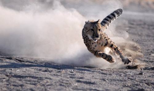 World Animal Day-Cheetah