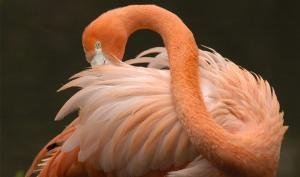 World Animal Day-Chilean Pink Flamingo