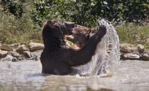 World Animal Day-European Brown Bear