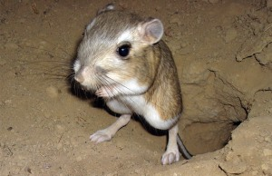 World Animal Day-Giant Kangaroo Rat