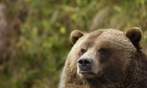 World Animal Day-Grizzly Bear