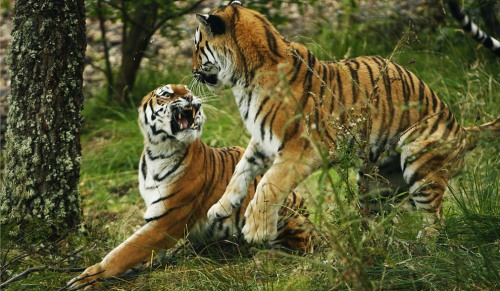 World Animal Day-Indian Tiger