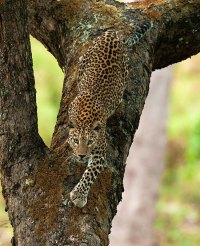 World Animal Day-Leopard