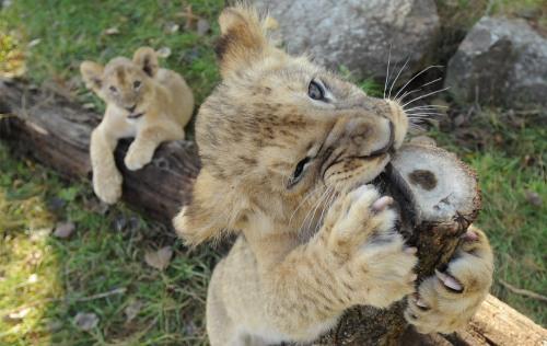 World Animal Day-Lion 2