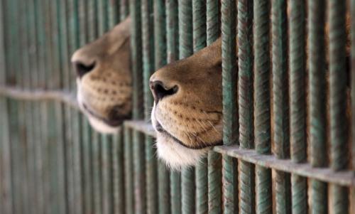 World Animal Day-Lion