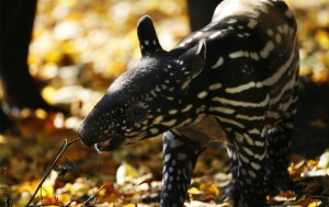 World Animal Day-Malayan Tapir