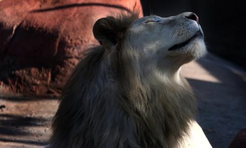 World Animal Day-White Lion