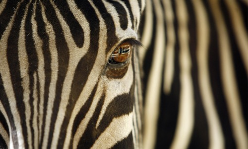 World Animal Day-Zebra